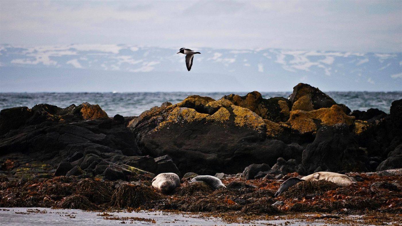 Arctic tern and seals